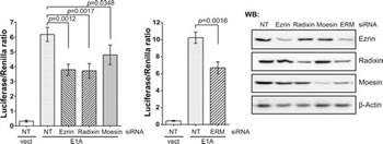 ERM proteins are involved in the E1A-dependent activation of c-Jun.