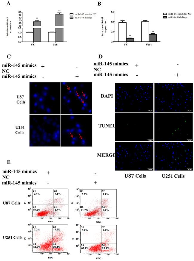 miR-145 induces glioma cells apoptosis.