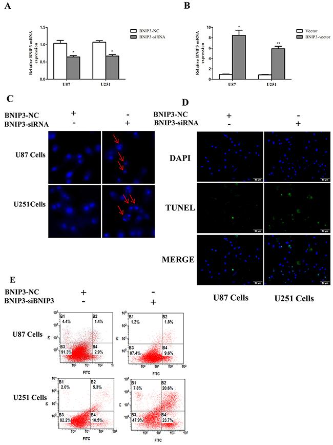 Knockdown of BNIP3 induces glioma cells apoptosis.