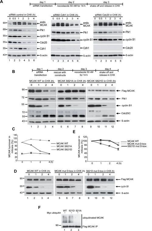The degradation of MCAK is proteasome dependent via the APC/C Cdc20 and Plk1 phosphorylation of S621 is required for mitotic degradation of MCAK.