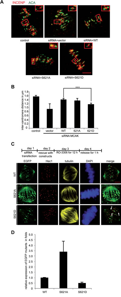 Inter-centromere distance is reduced in mitotic cells expressing MCAK S621D.