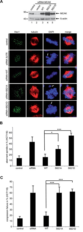 MCAK S621A and MCAK S621D cause defects in spindle formation and chromosome congression.