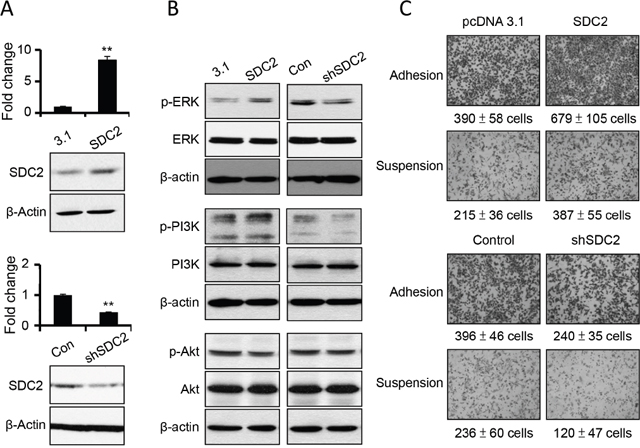 SDC2 overexpression increased ERK and PI3K activation and cell migration in melanoma cells.
