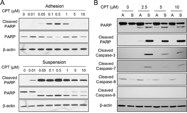 Enhanced chemosensitivity in suspended melanoma cells was associated with caspase-7.