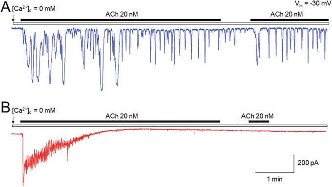 Comparison of ACh-induced Ca2+ oscillations between pancreatic acinar cells and submandibular cells using patch-clamp recordings.