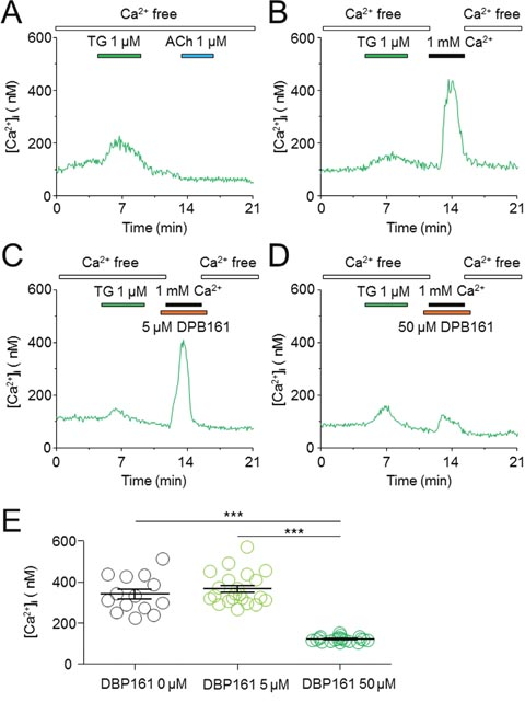 Effects of DPB-161 on the Ca2+ entry following thapsigargin-induced Ca2+ store depletion in rat submandibular gland acinar cells.