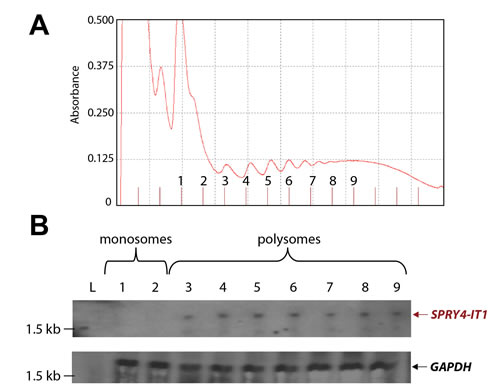SPRY4-IT1 Accumulates in Polysomes and Is Absent from Monosomes
