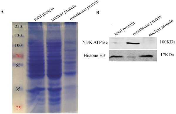 Western blot analysis of membrane proteins purification.