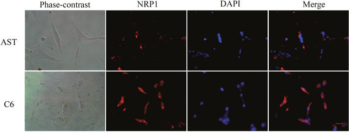 Immunofluorescence staining of NRP1 in C6 rat glioma cells and primary rat astrocytes.