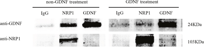 Co-immunoprecipitation analysis demonstrating NRP1 and GDNF binding.