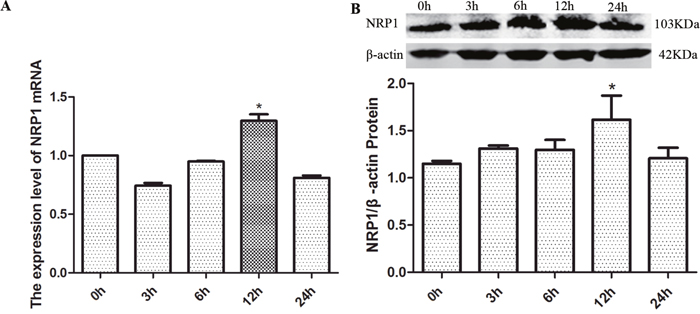The effects of exogenous GDNF on NRP1 mRNA and protein expression in C6 cells.