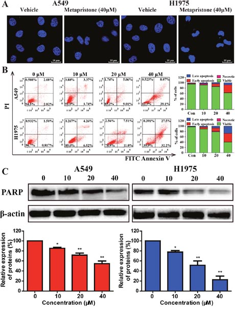 Effects of metapristone on non-small lung cancer apoptosis in A549 and H1975 cells.