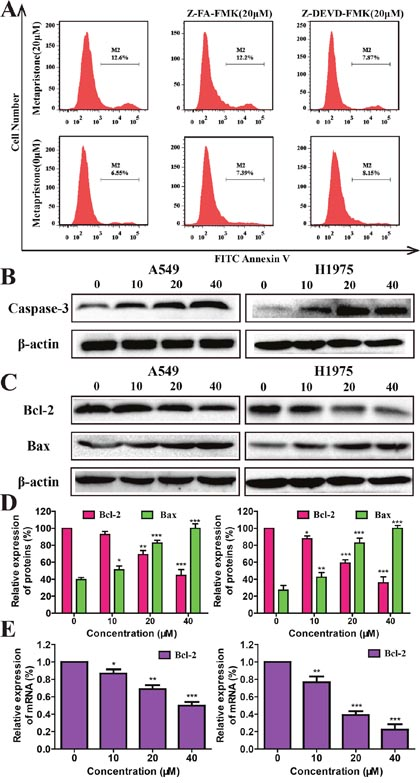 Mechanism of metapristone induced apoptosis on non-small lung cancer.