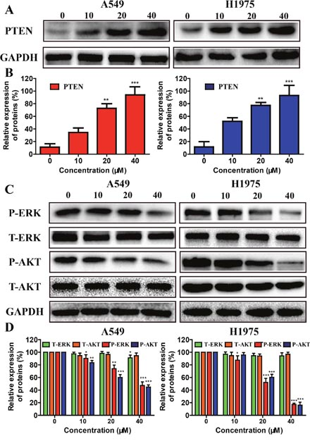 Effects of metapristone treatment on PTEN/AKT, and ERKs signal pathway in NSCLC cells.