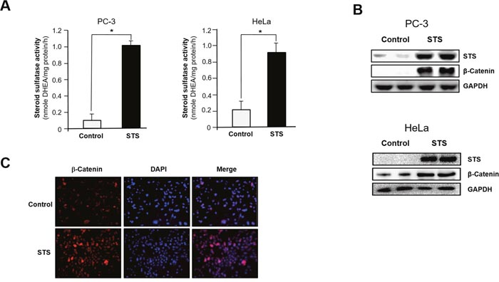STS induces β-catenin expression in cancer cells.