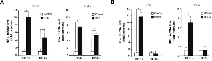 STS induces transcription of HIF-1α and HIF-2α.