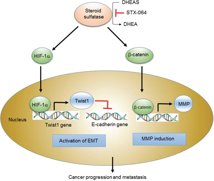 Scheme for the STS-mediated activation of Wnt/β-catenin signaling and EMT.