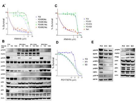 Figure 1:Establishment of afatinib-resistant lung cancer cells.