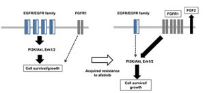 Figure5:Our hypothetic model shows how afatinib resistance is acquired in lung cancer cells.