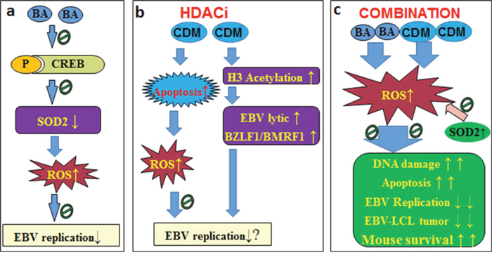 Proposed mechanisms for BA/CDM combination-mediated synergistic inhibition effect on EBV replication.