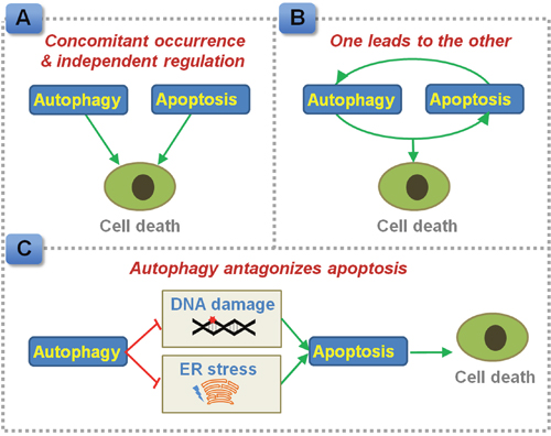 Proposed interplay between autophagy and apoptosis in regulating CRC cell death.