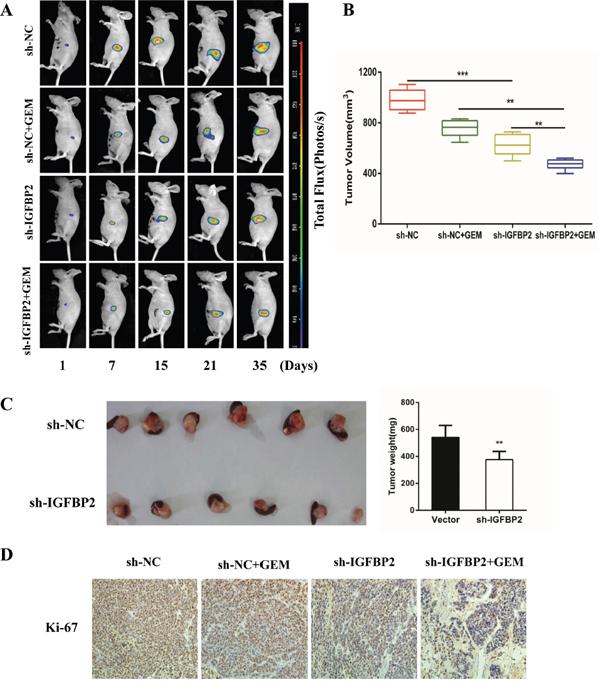 Knockdown of IGFBP-2 suppresses tumor growth and enhances the anti-tumor properties of gemcitabine.