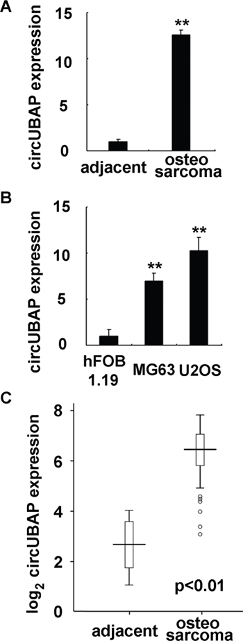CircUBAP2 expression is increased in osteosarcoma tissues and cell lines.