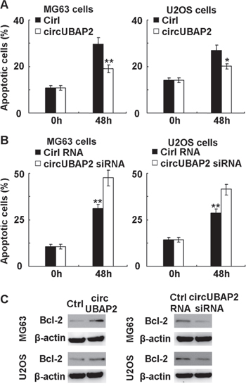 CircUBAP2 inhibits apoptosis by upregulating anti-apoptotic Bcl-2 expression.
