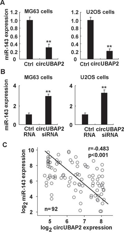 CircUBAP2 functions as the sponge of miR-143.