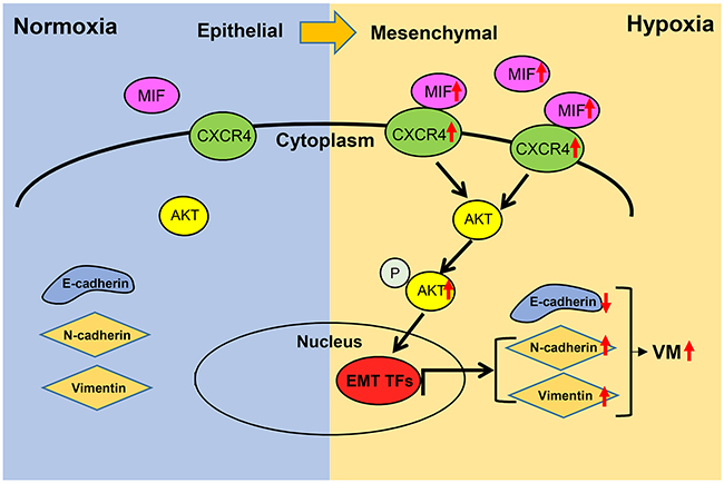 Schematic diagram of MIF promoting hypoxia-induced VM formation through CXCR4/AKT/EMT pathway.