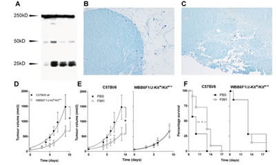 FLCs are responsible for mast cell activation supporting tumor growth of B16F10 melanoma.