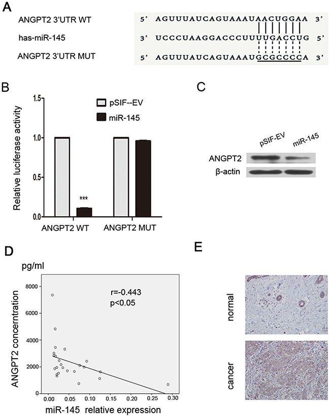 ANGPT2 is a target gene of miR-145.