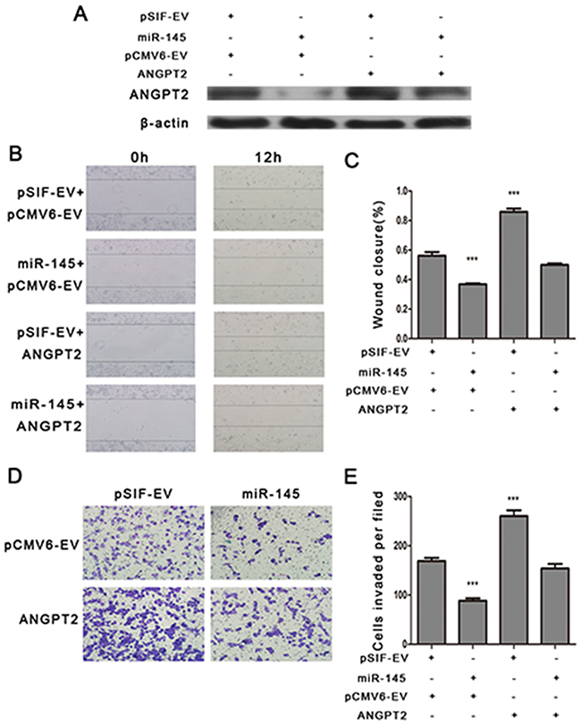 ANGPT2 re-expression attenuates miR-145 mediated inhibition of cell migration and invasion in MDA-MB-231 cells.