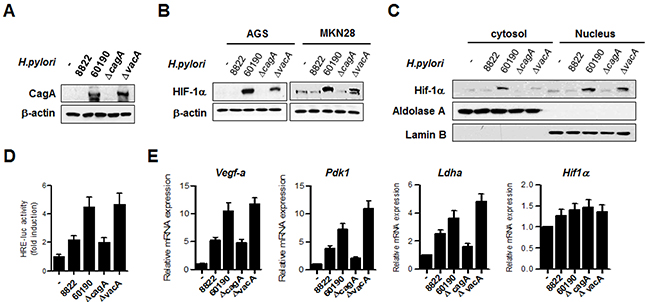 H. pylori CagA increases HIF-1α activity and induces expression of HIF-1α target genes.