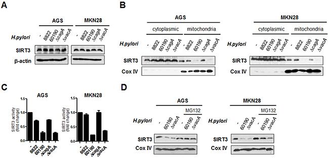 H. pylori CagA downregulates SIRT3 activity in the mitochondria via proteasomal degradation.