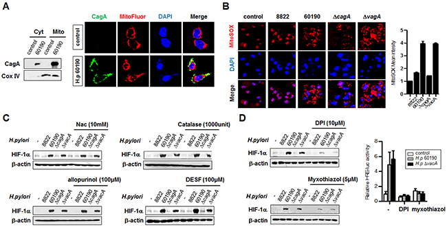 H. pylori CagA protein localizes to mitochondria and is involved in ROS production.
