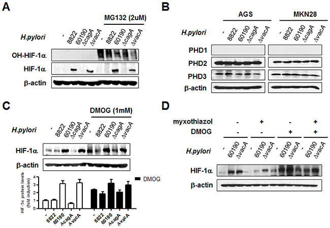 CagA+ H. pylori-induced HIF-1α stabilization is regulated by prolyl hydroxylase (PHD) activity.