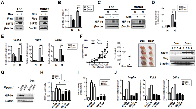 SIRT3 gain of function inhibits HIF-1α activity and expression of HIF-1α target genes.
