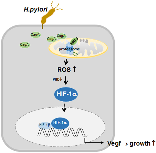 Proposed model depicting the regulation of HIF-1α by downregulated SIRT3-mediated ROS production in H. pylori-infected gastric cells.