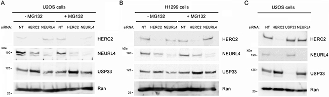 Ubiquitin ligase activity of HERC2 and NEURL4 stability.