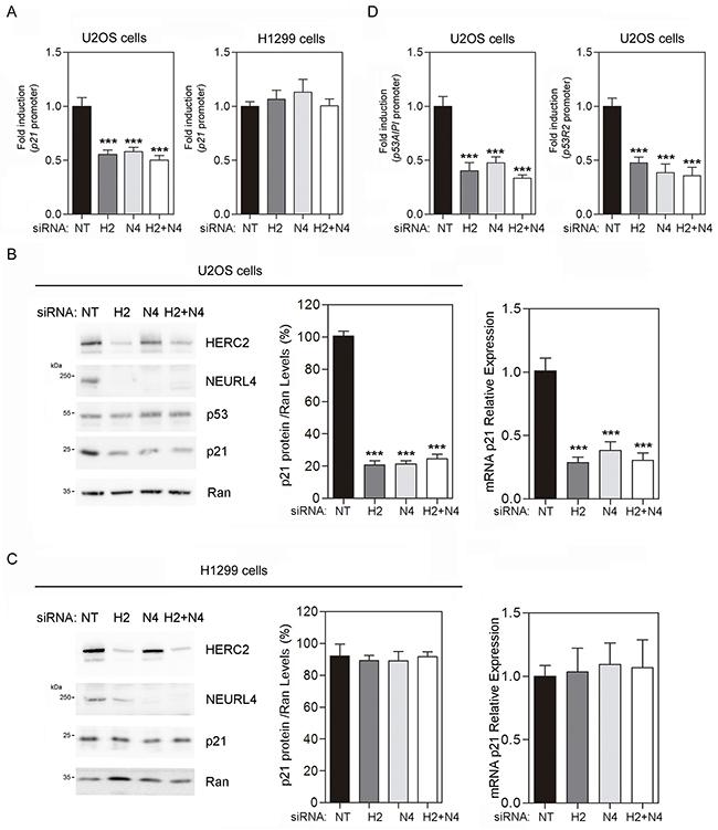 NEURL4 regulates the transcriptional activity of p53.