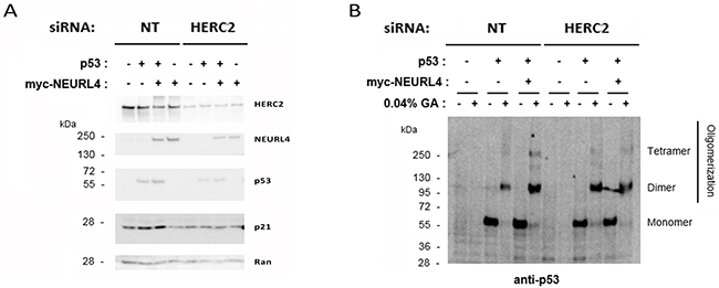 HERC2 is required for the regulation of p53 activity mediated by NEURL4.