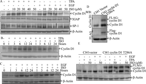 Downregulation of cyclin D1 expression mediated the inhibition of colony formation and induction of G0/G1 phase arrest following ISO treatment.