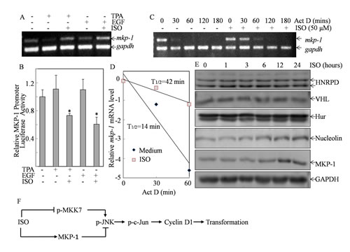 ISO treatment increased mkp-1 mRNA stability.
