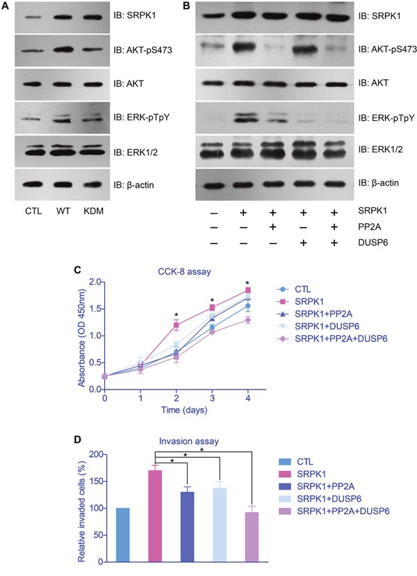 AKT and ERK were down-stream effectors of SRPK1 in gastric cancer cells.