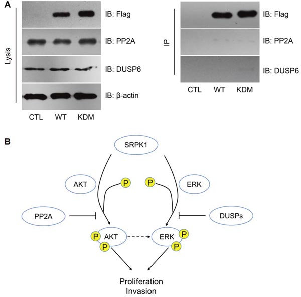 PP2A and DUSP6 inhibited SRPK1 signaling by indirect manners.