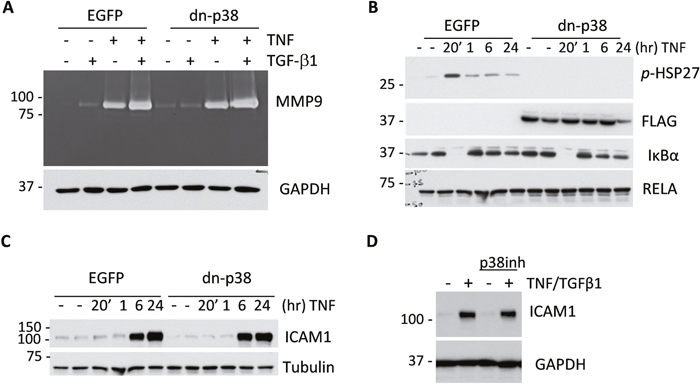 Disruption of p38MAPK signaling does not reduce expression of MMP9 and ICAM1 by tumor cells.