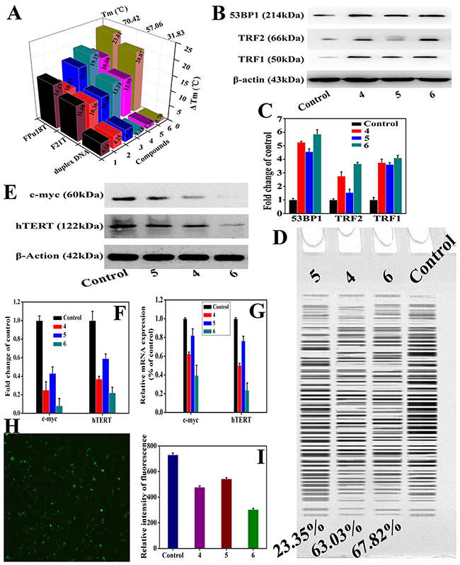Complexes 4–6 induced telomeres damage and inhibited the telomerase activity through directly regulating the mRNA level of c-myc promoter (Pu27).
