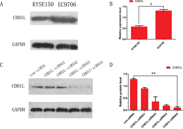 Expression of CHD1L in EC cell lines and inhibition of CHD1L expression by RNA interference.