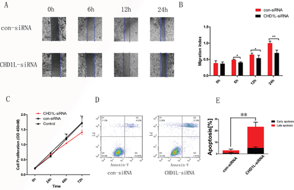 Silencing of CHD1L decreases cell migration and cell proliferation and induces cell apoptosis.